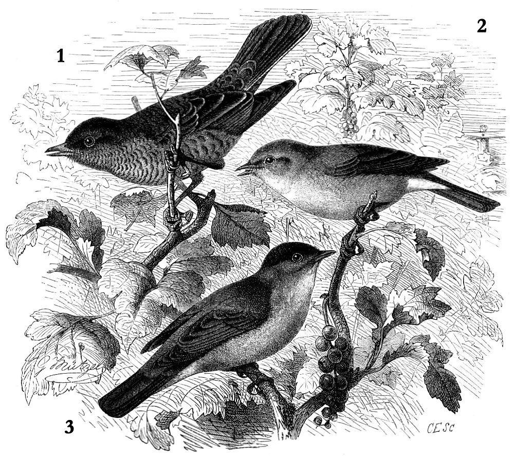 1 - Ястребиная славка (Sylvia nisoria) 2 - Садовая славка (Sylvia borin) 3 — Славка-черноголовка (Sylvia atricapilla)