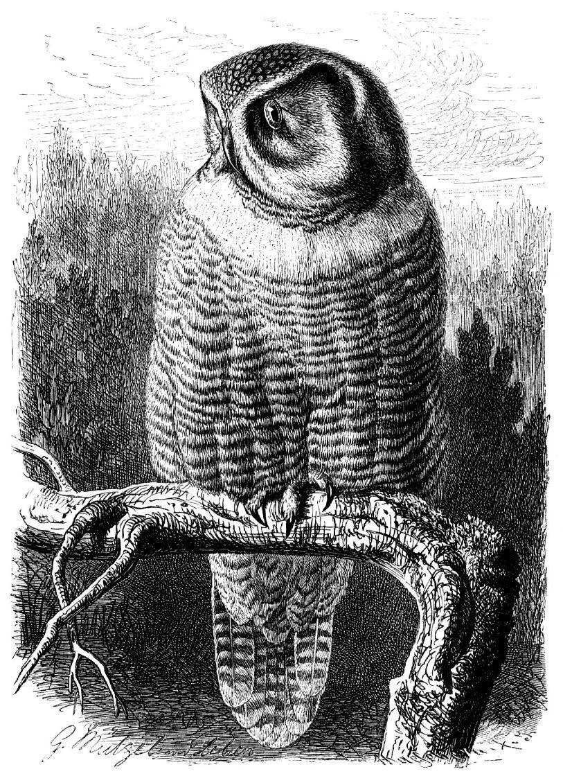 Ястребиная сова (Surnia ulula)