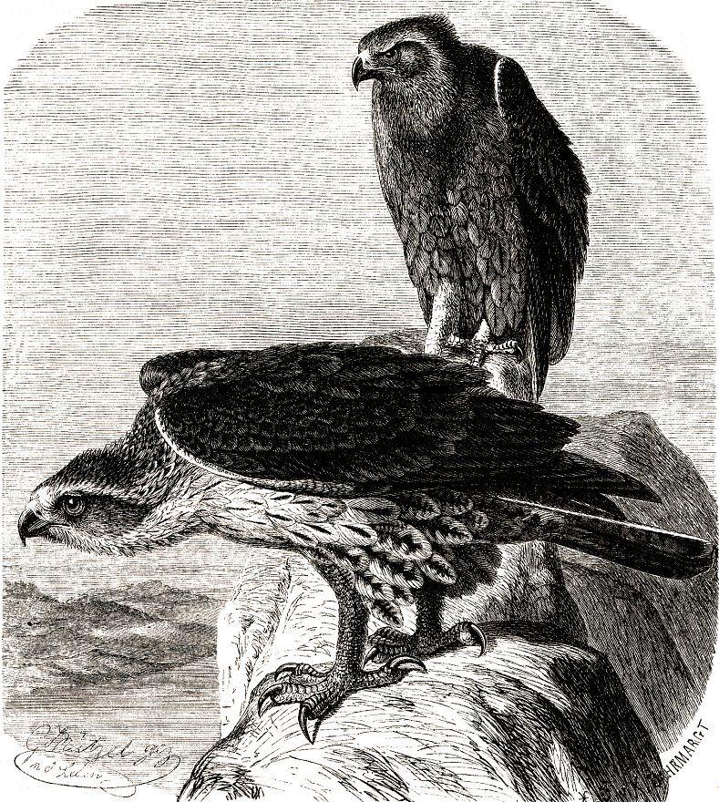 Ястребиный орел (Hieraaetus fasciatus)