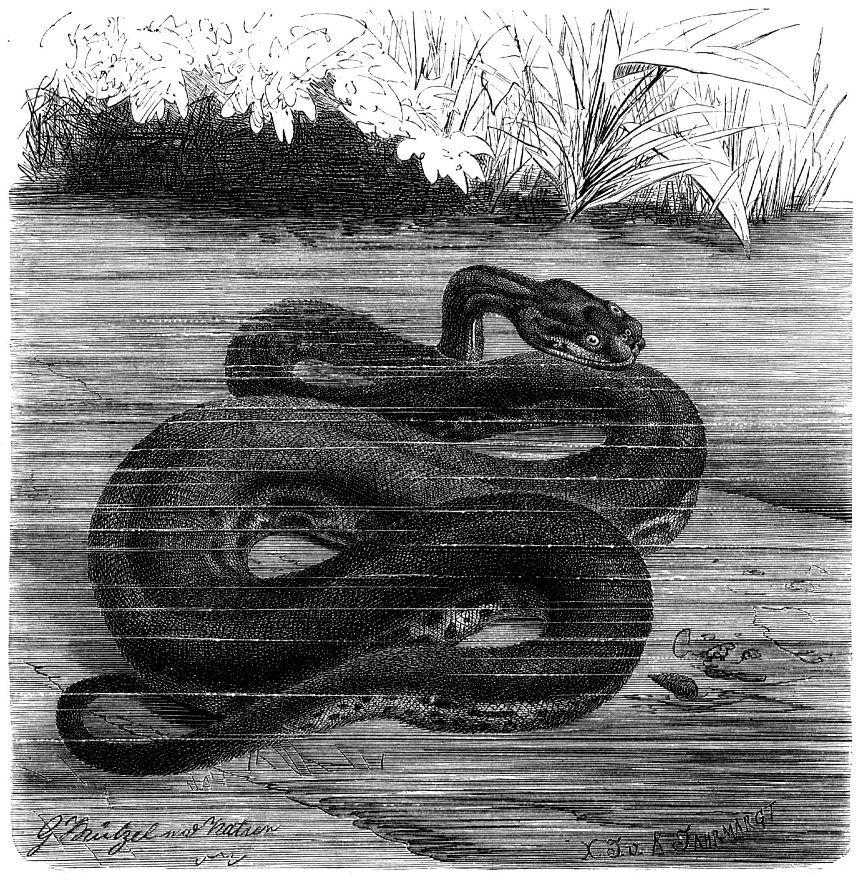 Яванская бородавчатая змея (Acrochordus javanicus)
