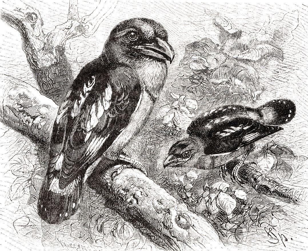 Яванский рогоклюв (Eurylaimus javanicus)