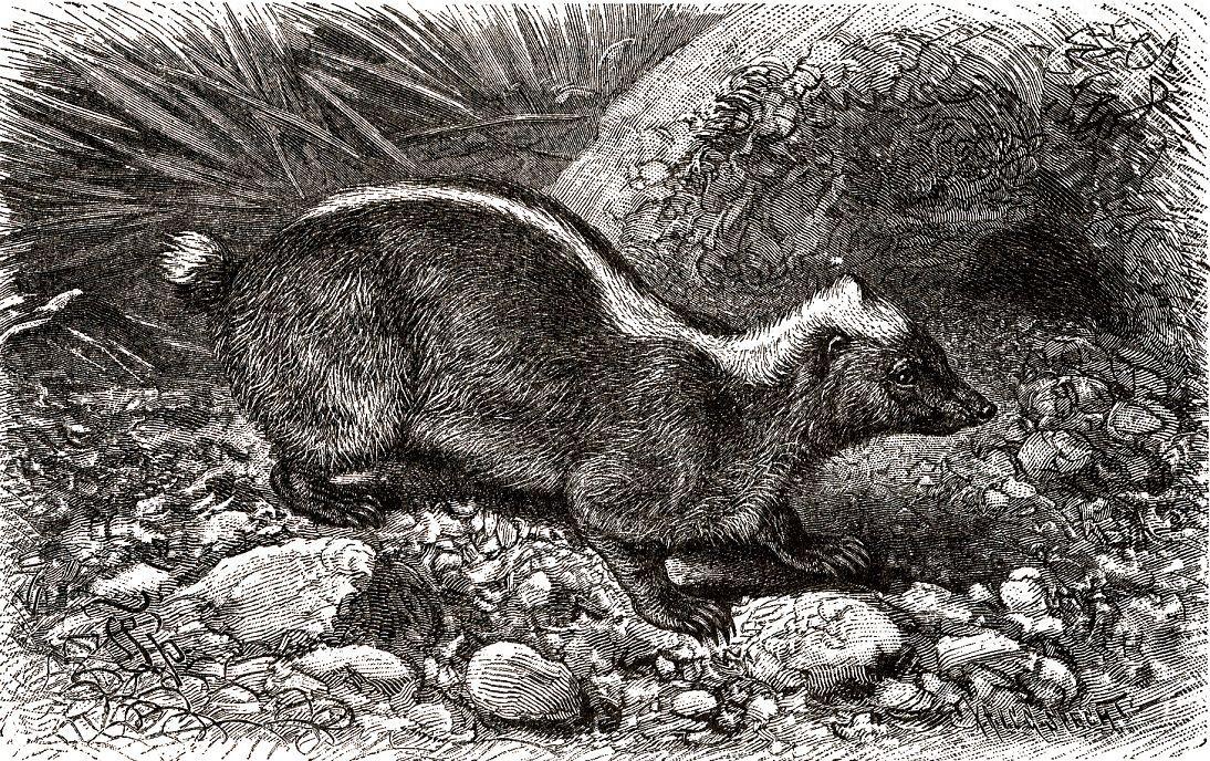Яванский вонючий барсук, или короткохвост (Mydaus javanensis)