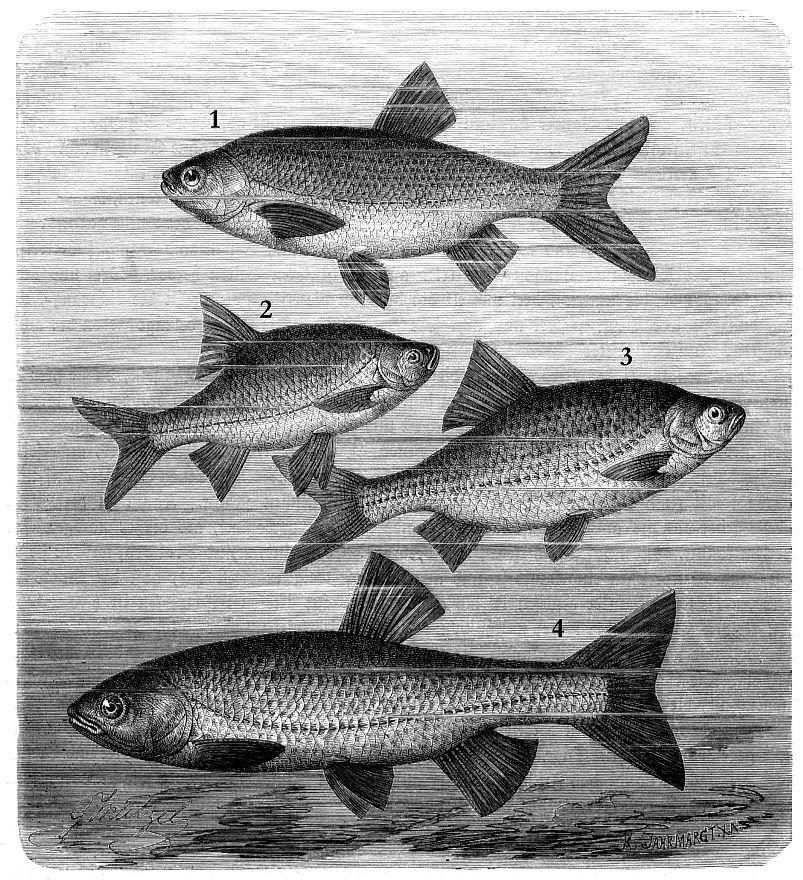 I -Язь (Leuciscus idas) 2 - Красноперка (Scardinius erythrophthalmus) 3 - Обыкновенная плотва (Rutilus rutilus) 4 - Голавль (Leuciscus cephalus)