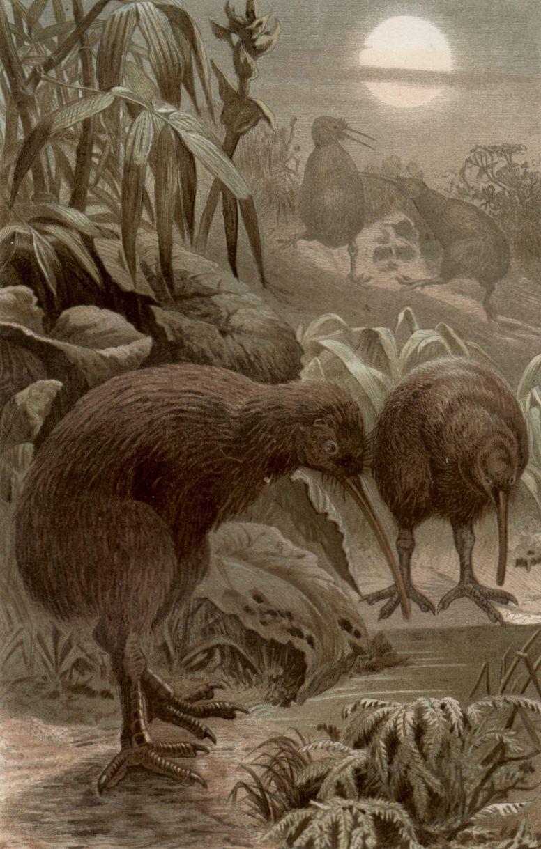 Южный киви (Apteryx australis)