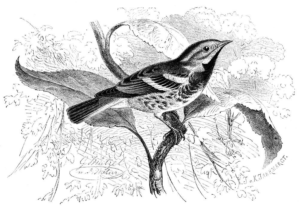 Зеленый лесной певун (Dendroica virens)