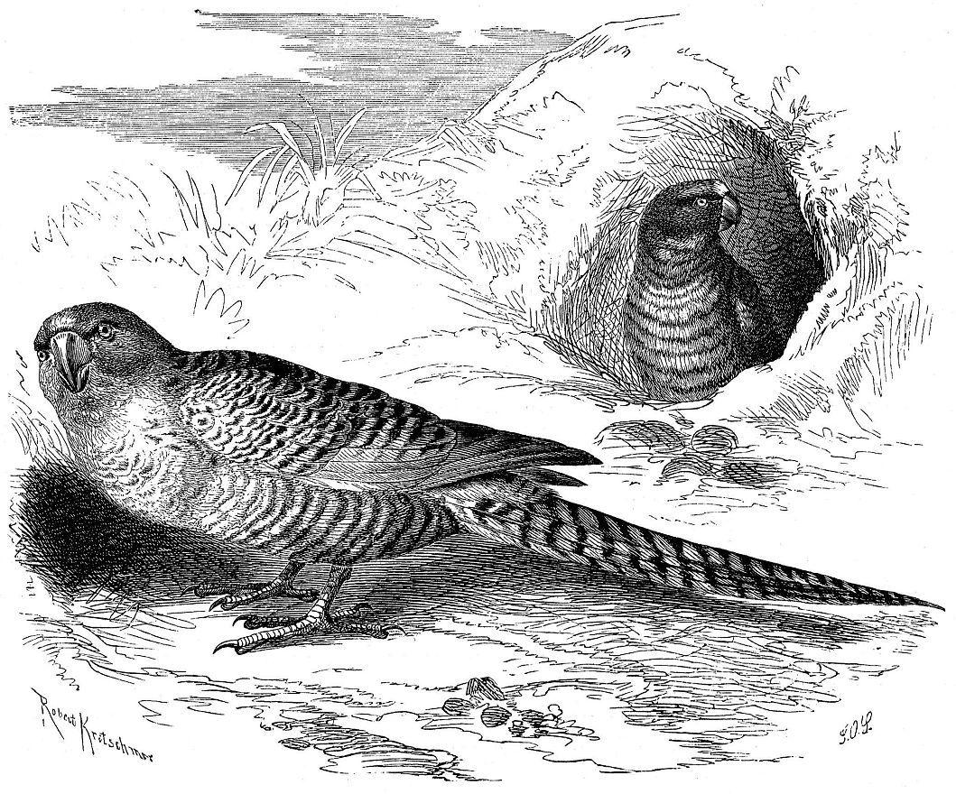 Земляной попугай Pezoporus wallicu)