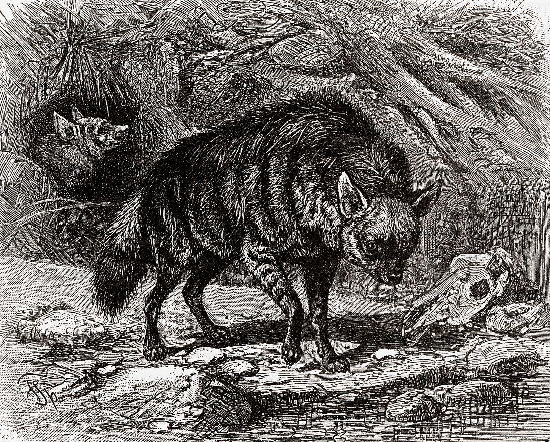 Земляной волк (Proteles cristatus)
