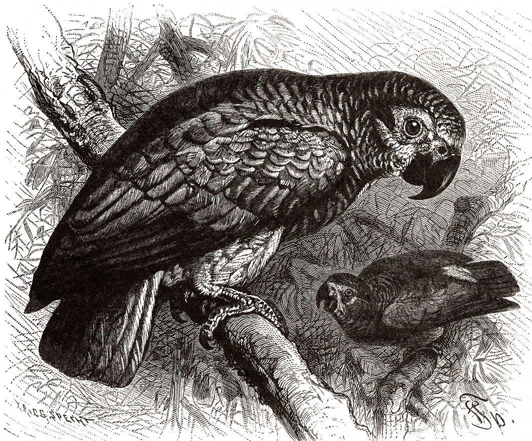 Жако (Psittacus erithacus)