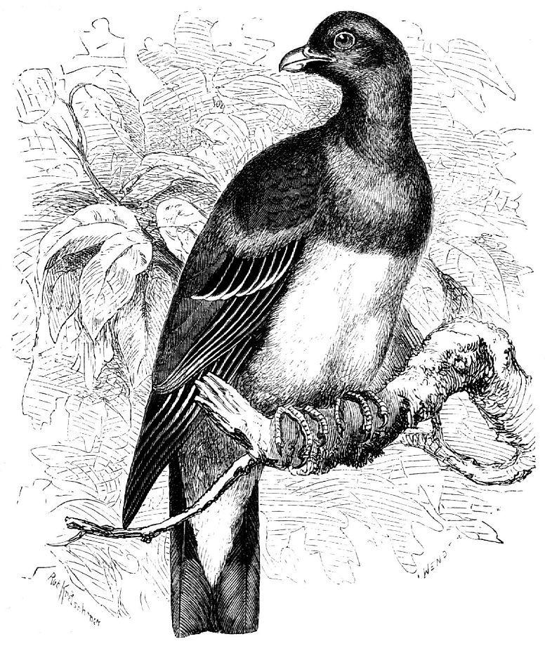 Желтобрюхий зеленый голубь