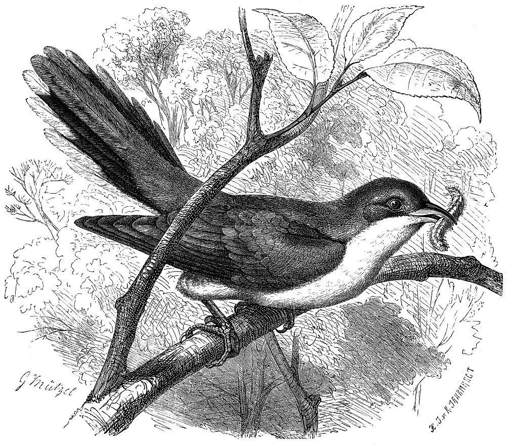 Желтоклювая кукушка (Coccygus americamts)