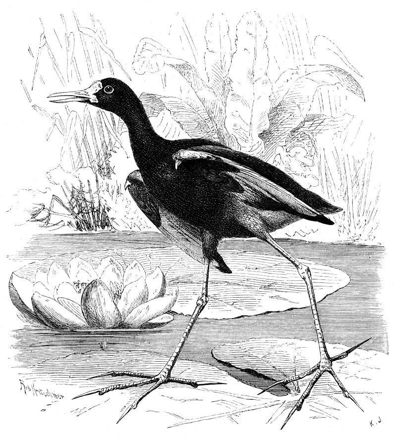 Желтолобая якана (Jacana spinosa)
