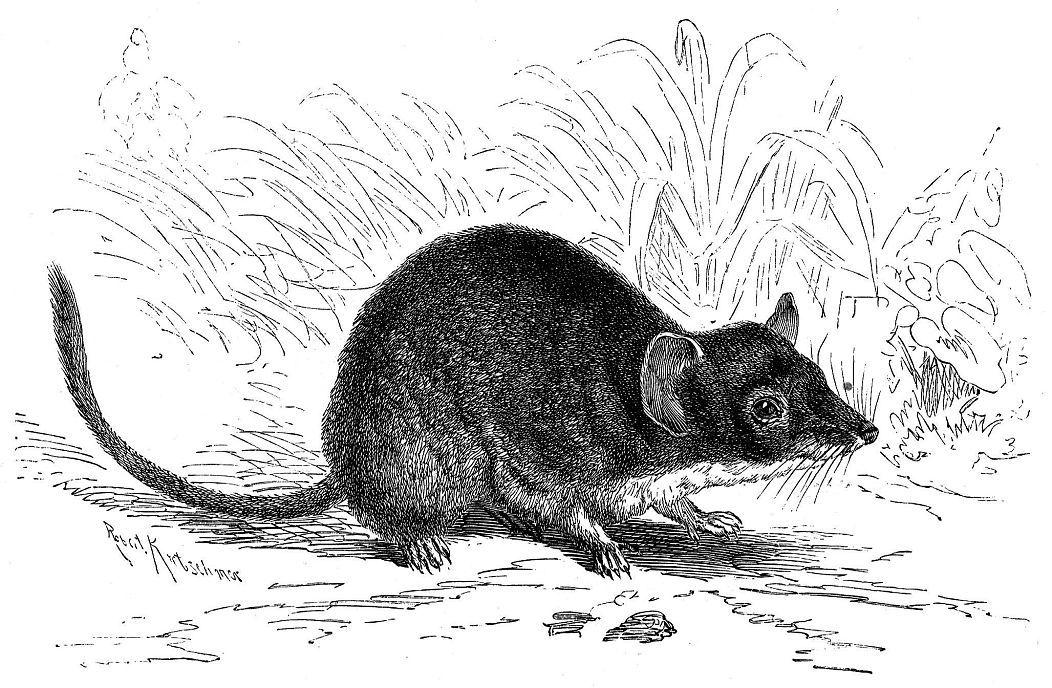 Желтоногая сумчатая мышь (Antechinus flavipes)