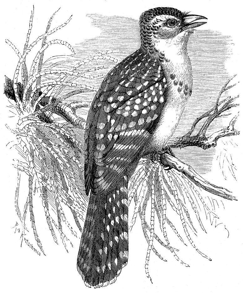 Жемчужный трахифонус (Trachyphonus margaritatus)