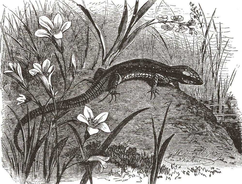 Живородящая ящерица (Lacerta vivipara)
