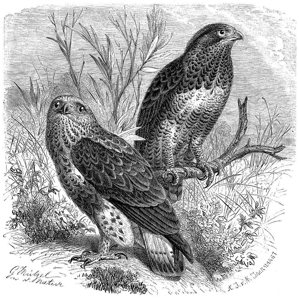 Зимняк (Buteo lagopus)