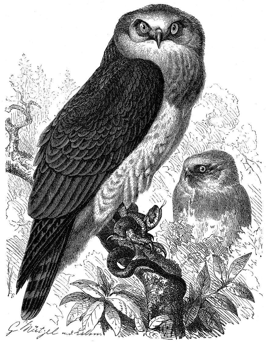 Змееяд (Circaetus gallicus)