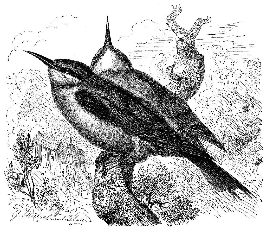 Золотистая щурка (Merops apiaster)