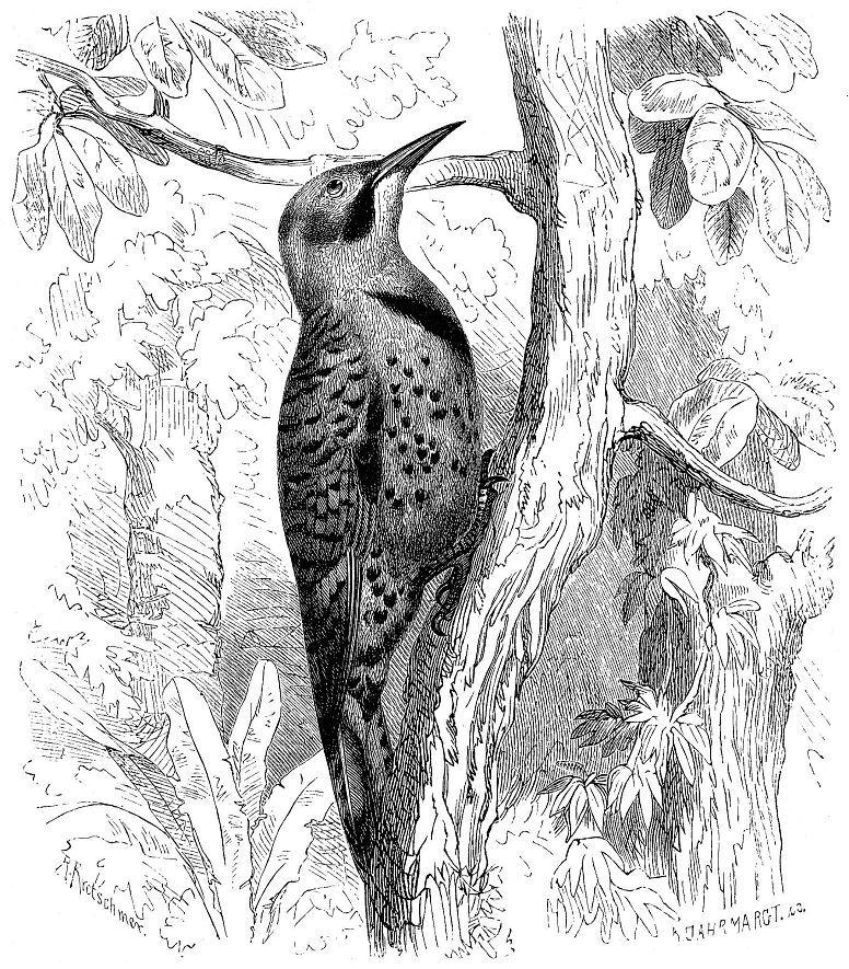 Золотой шилоклювый дятел (Colaptes auratus)