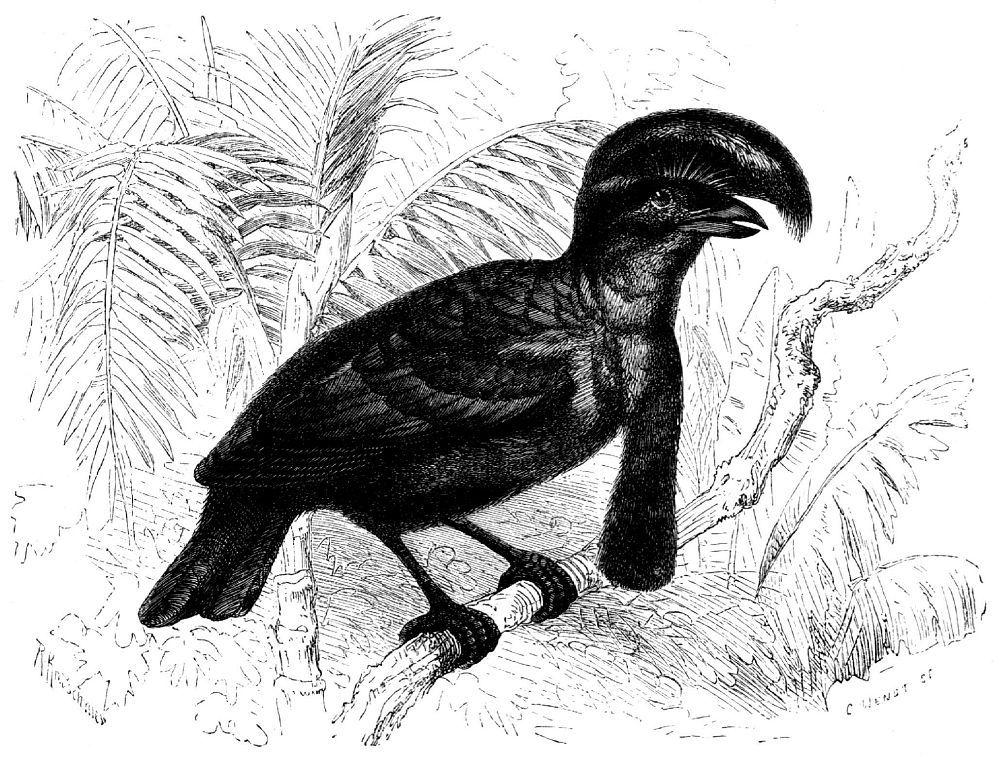 Зонтичная птица (Cephalopterus orпаtits)