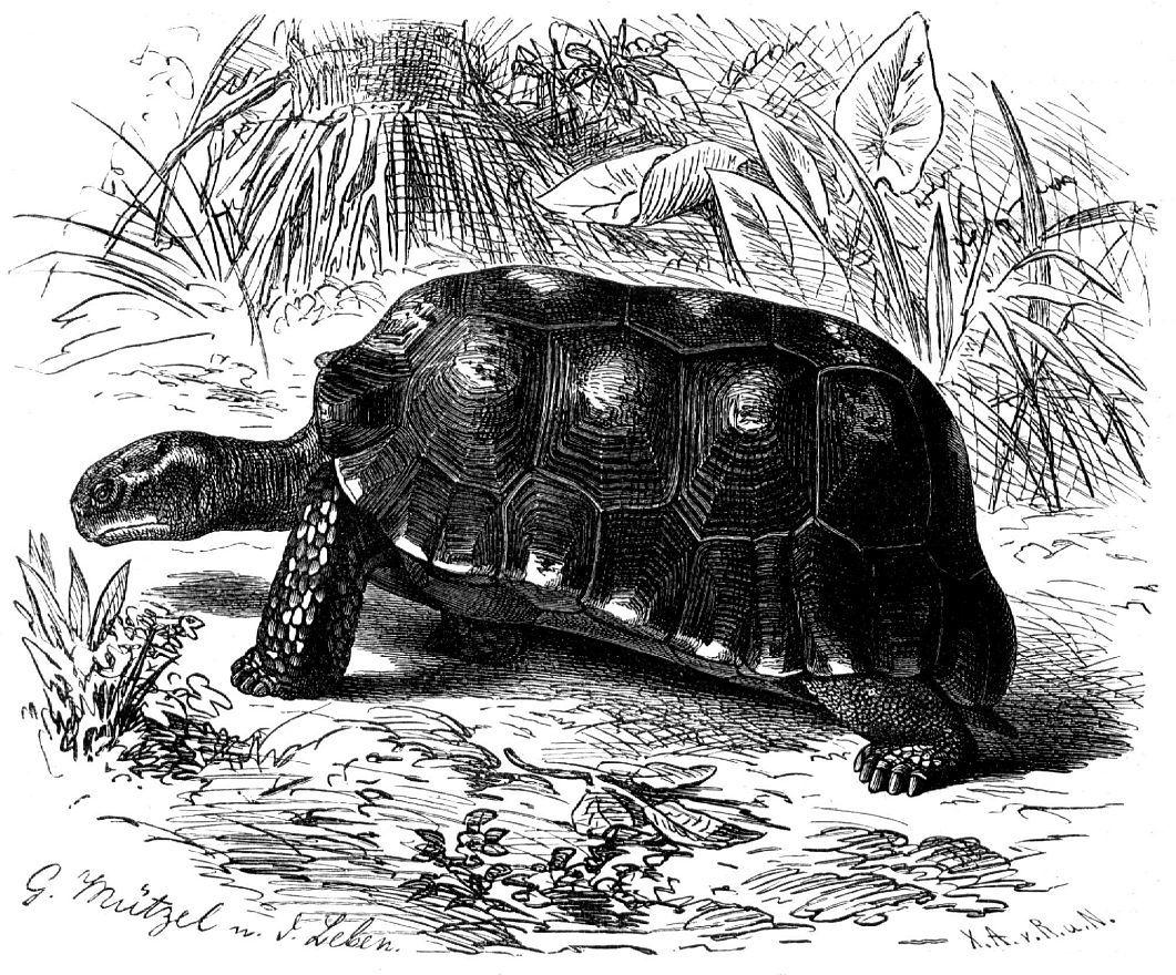 Зубчатая черепаха (Geochelone denticulata)