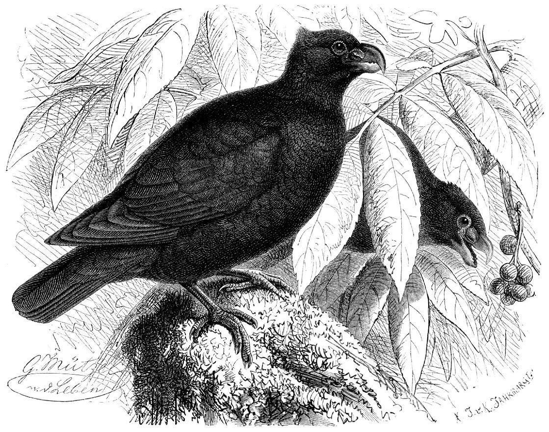Зубчатоклювый голубь (Didunculus strigirostris)