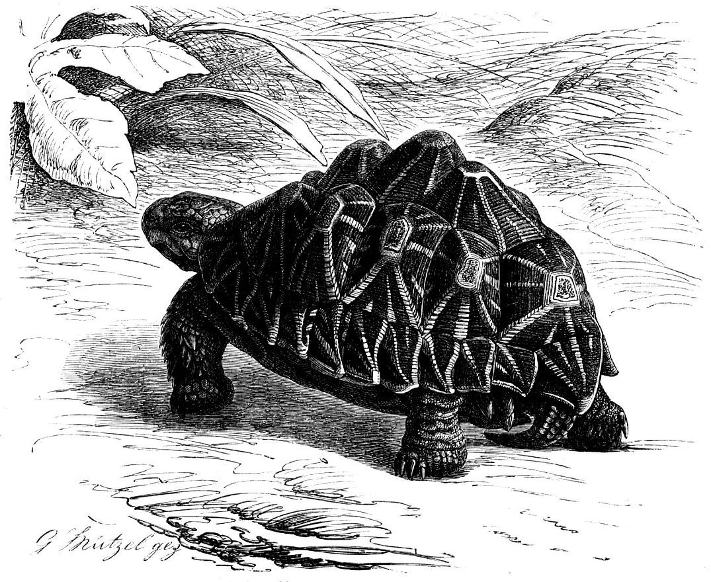 Звездчатая черепаха (Geochelone elegans)