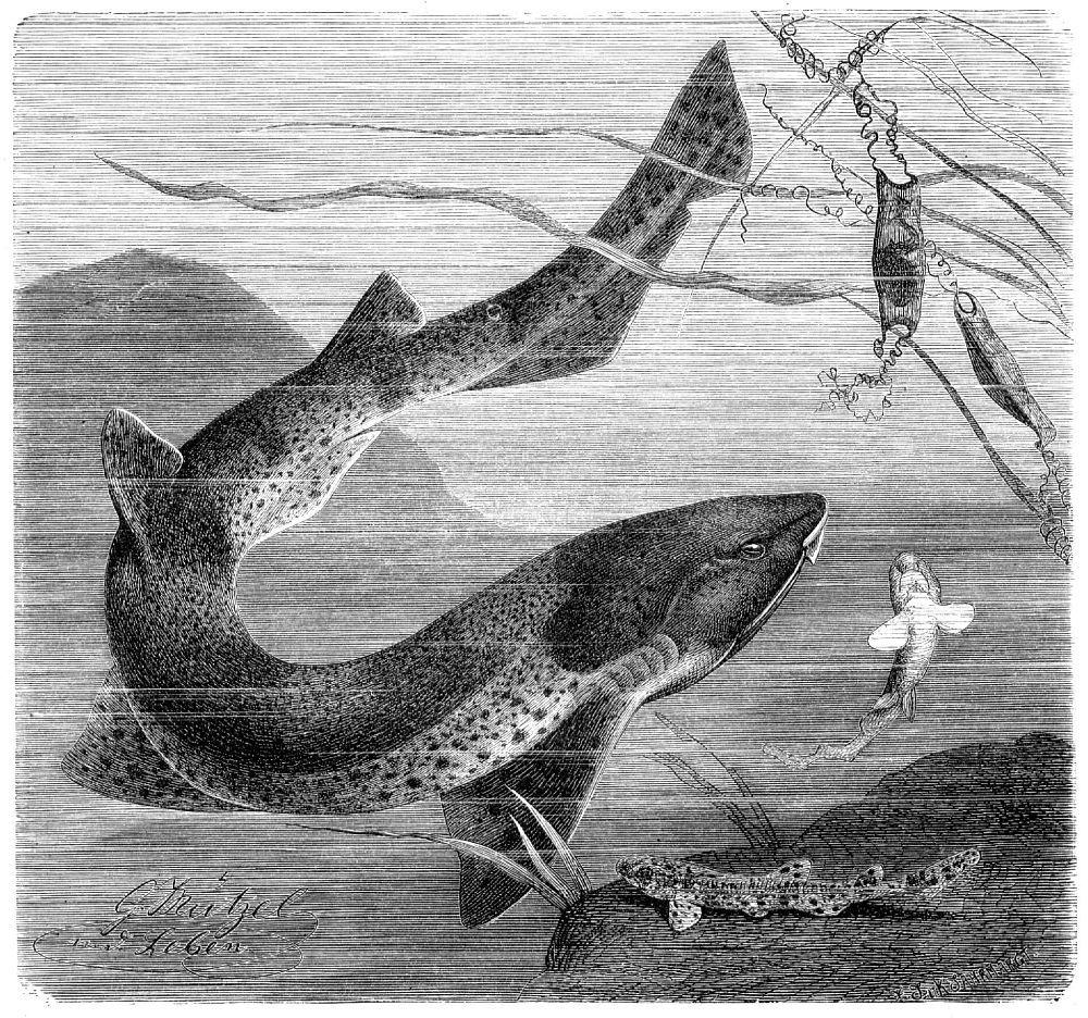 Звездчатая, или крупнопятнистая, кошачья акула (Scyliorhinus stellaris)