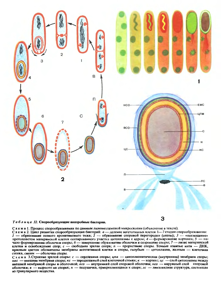 бактерий фото у спорообразование