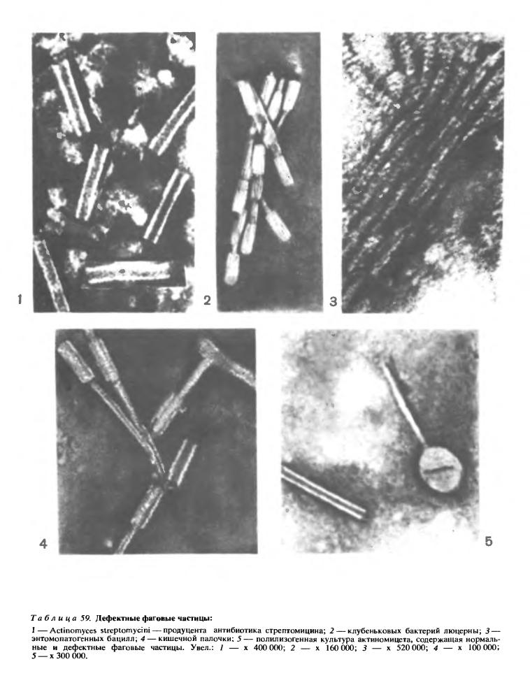 Лизогения фото