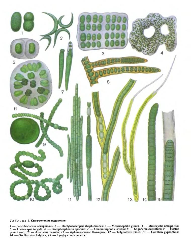 Порядок стигонемовые (Stigonematales)
