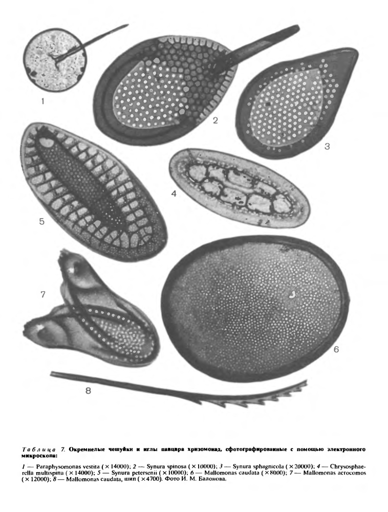 Подкласс хризомонады (Chrysomonadophycidae)