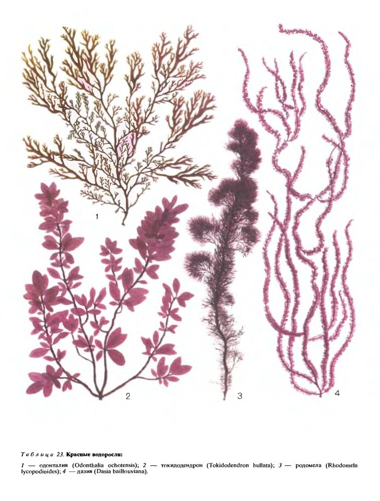 Внешняя форма тела красных водорослей
