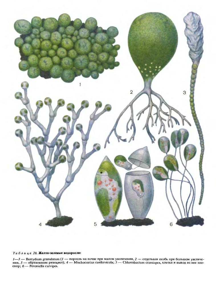 Класс ксантокапсовые (Xanthocapsophyceae)