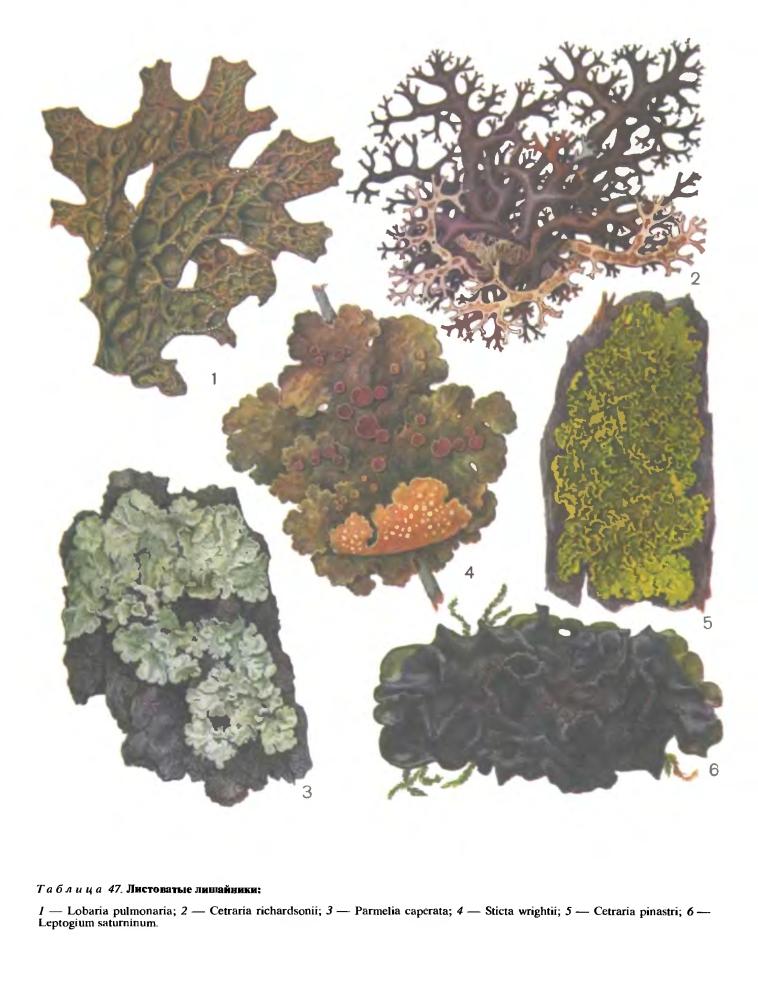 Органы размножения лишайников