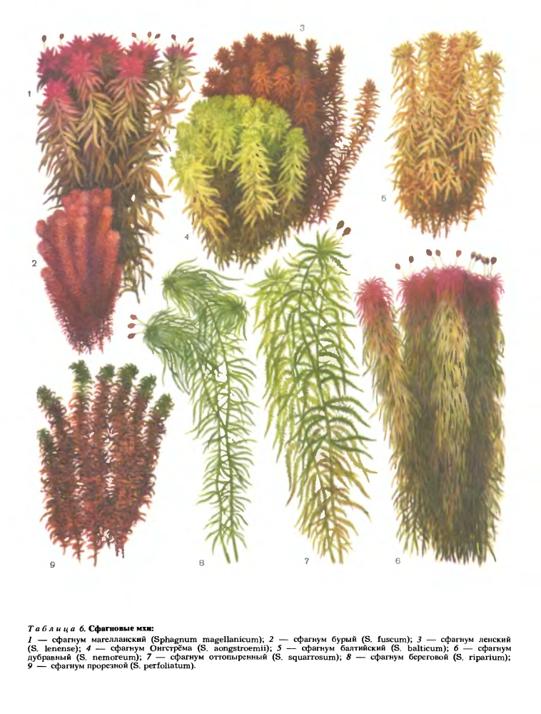 Подкласс сфагновые или сфагниды (Sphagnidae)