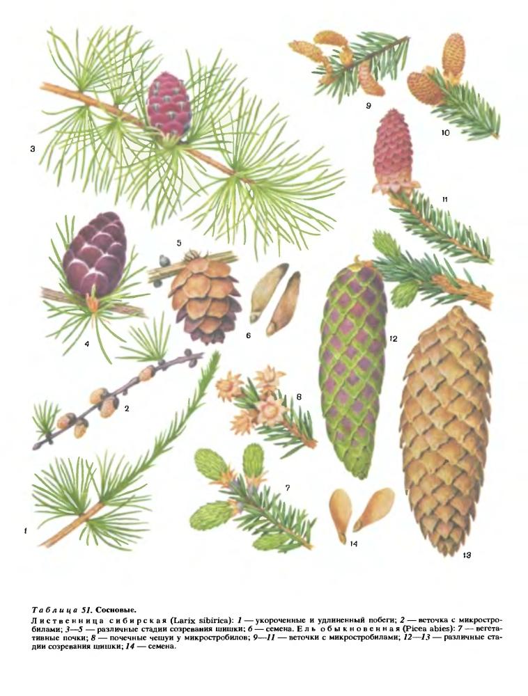 Семейство сосновые (Pinaceae)