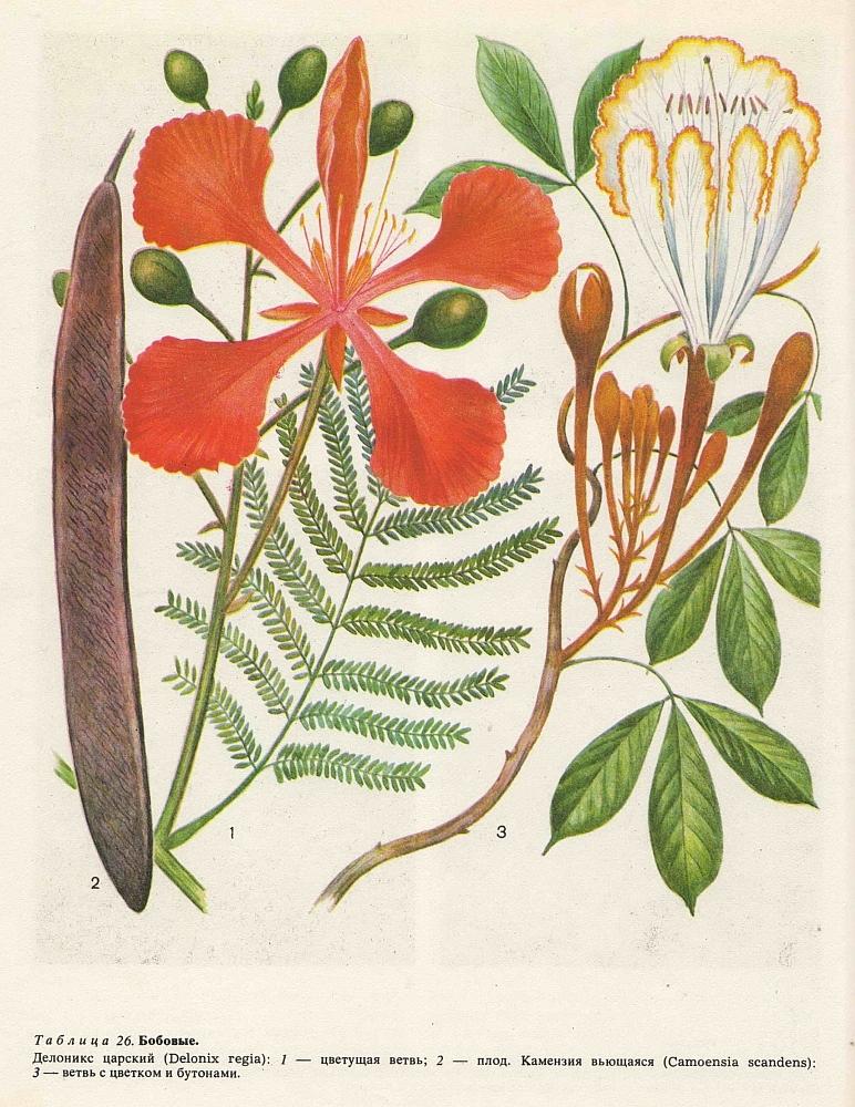 Семейство бобовые (Fabaceae