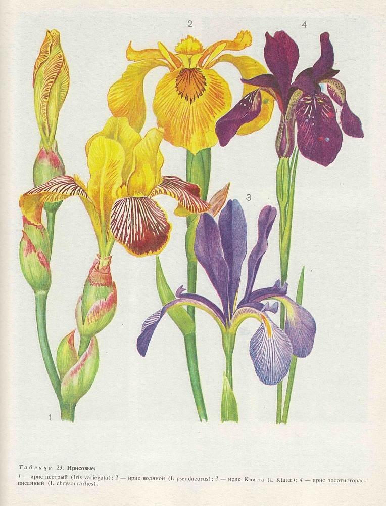 Ирис строение цветка