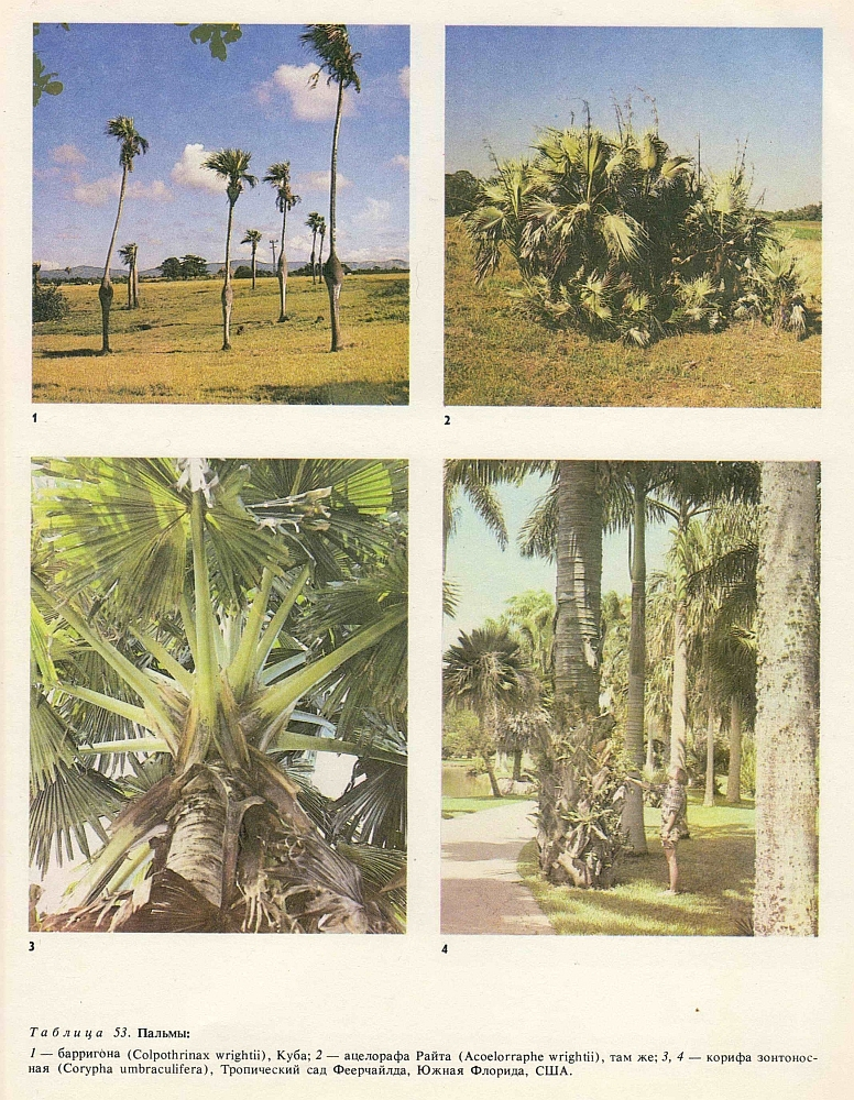 Масличная пальма род