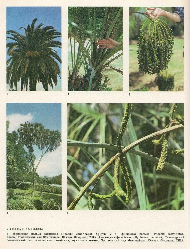 виды пальм с фото и описанием
