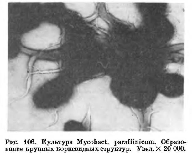 Парафинокисляющие микобактерии