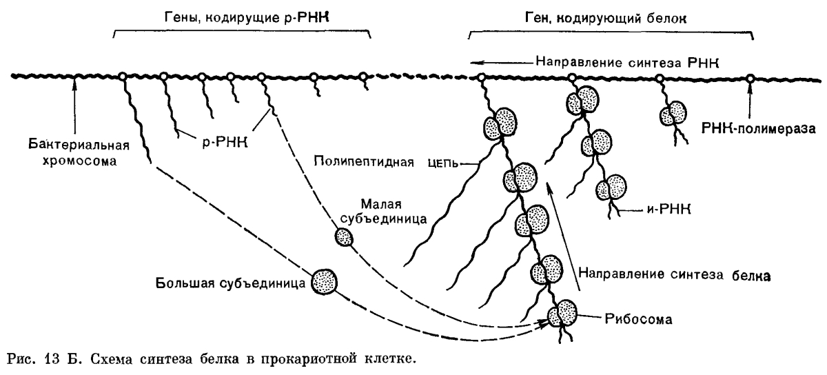 Биосинтез белка Рис. 1 1 13Б.