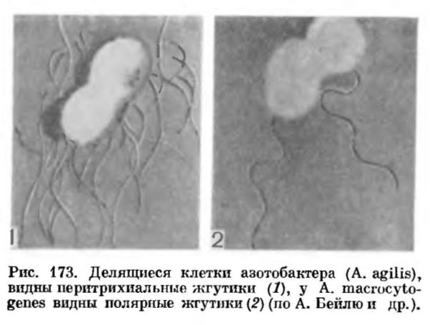 Азотобактер (Azotobacter)