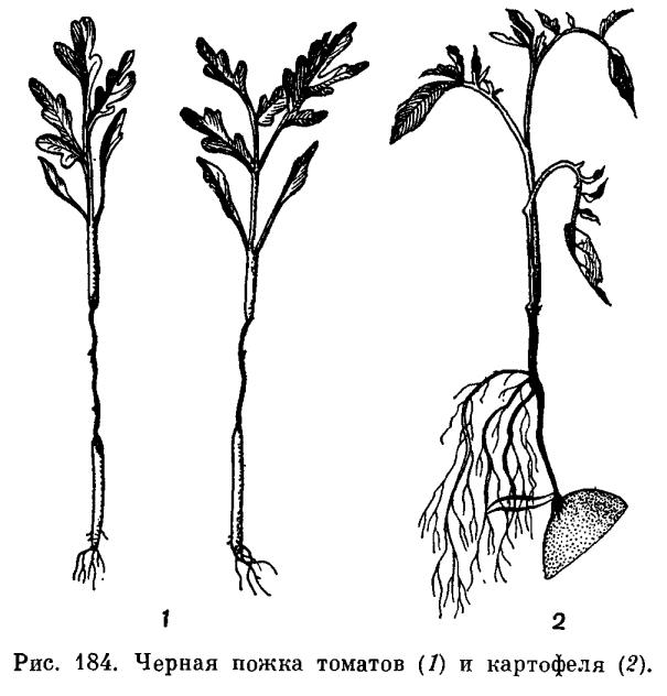 Bact phytophtorum возбудитель болезни
