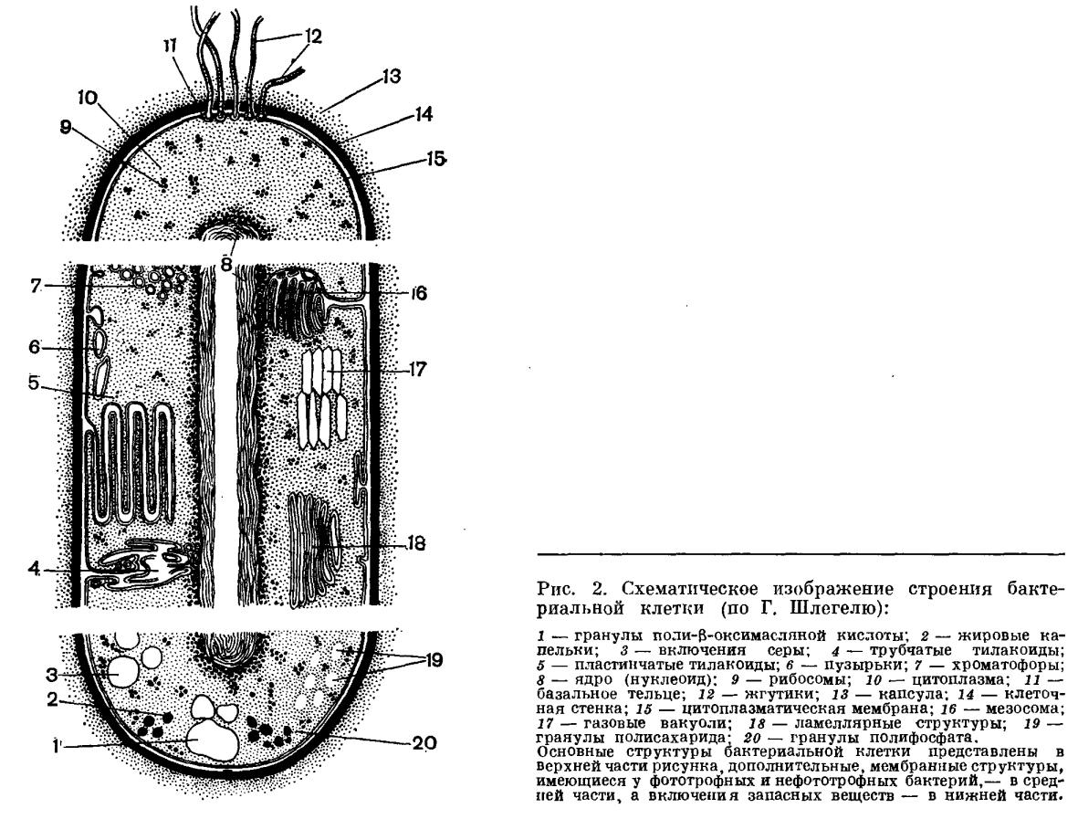 Строение и химический состав бактериальной клетки это. Что.