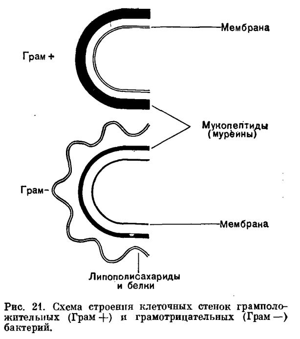 Схема строения клеточных стенок грамположительных (Грам+) и грамотрицательных (Грам -) - бактерий.