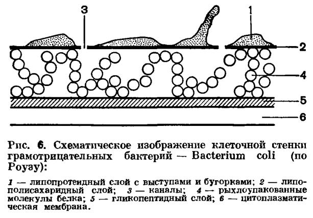 бактериальной клетки