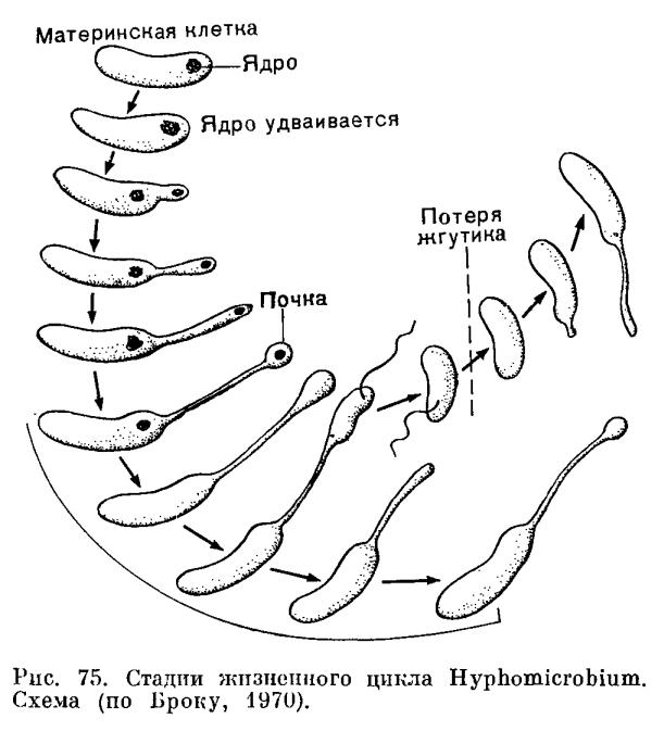 Рис. 75.  Стадии жизненного цикла Hyphomicrobium.  Схема (по Броку, 1970) .