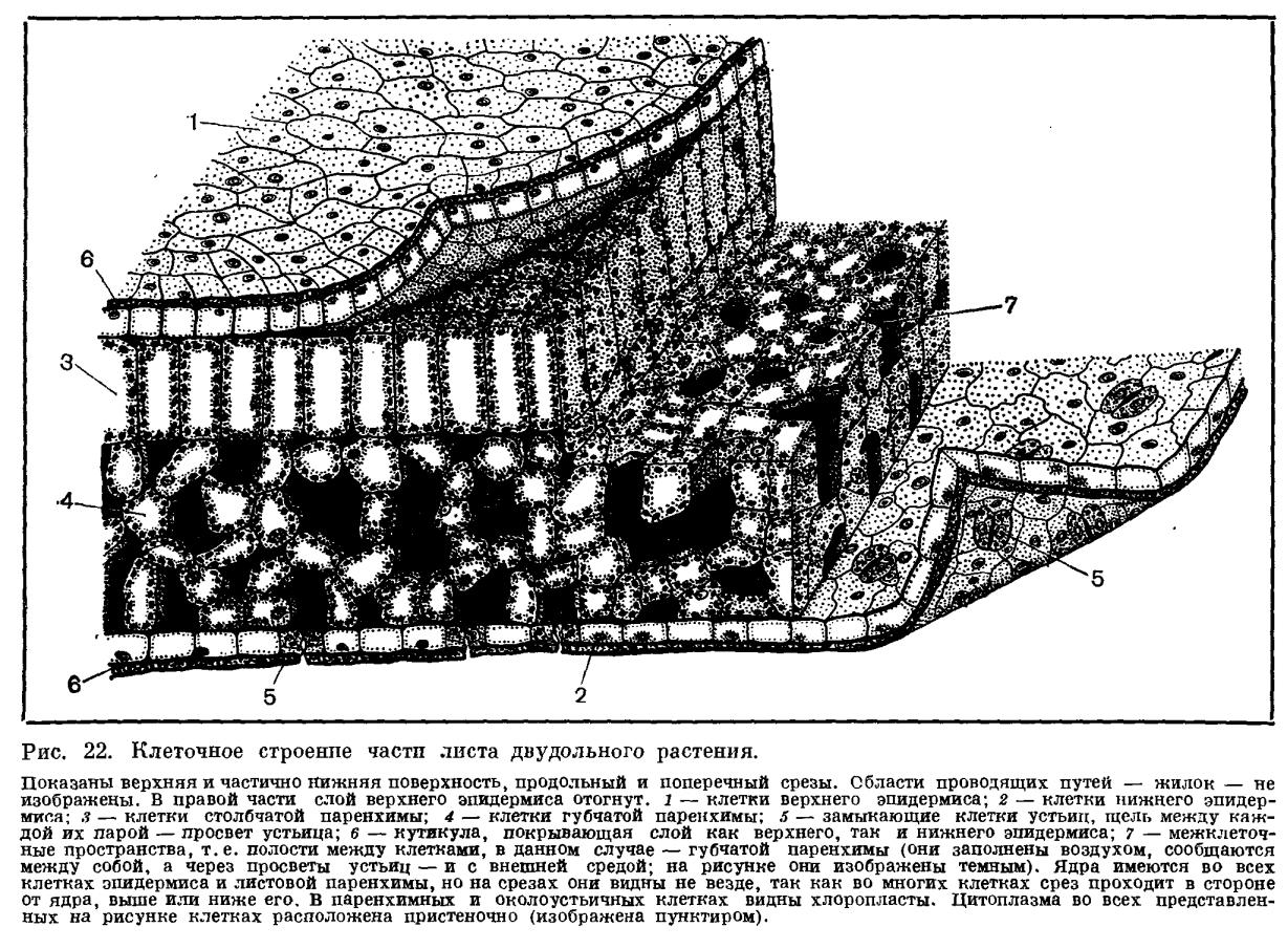 Как выглядит часть стебля многоклеточного растения под микроскопом