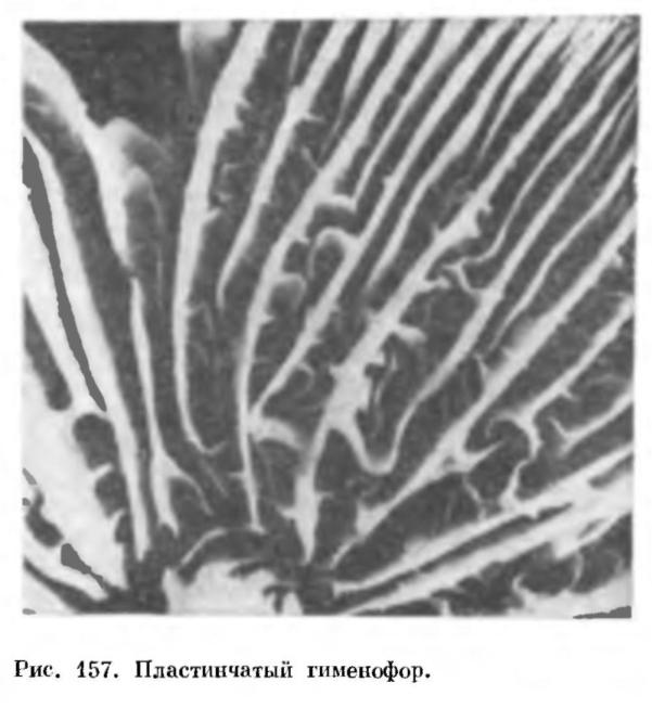 КЛАСС БАЗИДИОМИЦЕТЫ (BASIDIOMYCETES)